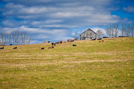 Cows laying in a field by a tobacco barn, Central Kentucky.