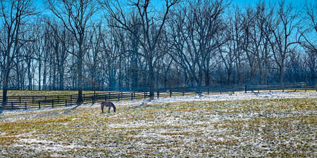 Thoroughbred horse gazing in a snow cover fiield with trees and clear blue sky. 写真素材