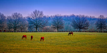 Thoroughbred horses grazing in the early morning. Imagens