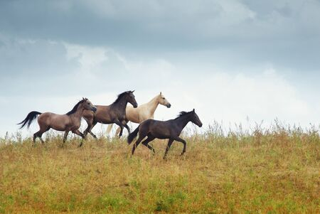 Four horses running in the steppe. Kazakhstan. Middle Asia. Natural light and colors