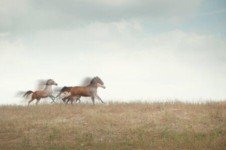 Drei Pferde laufen auf dem Feld. Natürliche Bewegungsunschärfe