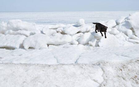 Black Labrador dog running in winter landscape