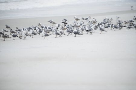 Flock of seagulls at the ocean beach