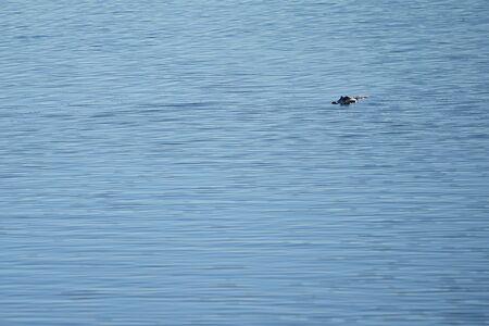 Alligator (Alligator mississippiensis) swimming in the lake Standard-Bild