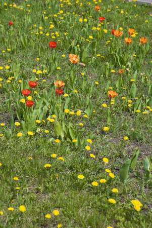 Lawn with tulip located in town centre