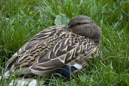 Photography of the duck sitting on lawn in park