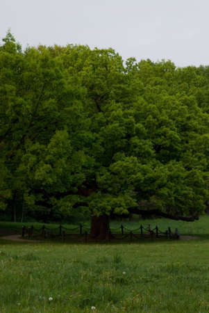 Photography of the green oak in bad weather