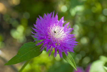 Beautiful cornflower on natural background year daytime