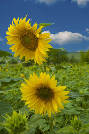 Photography of the sunflower by summer on farming field photo