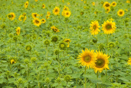 Photography of the sunflower by summer on farming field