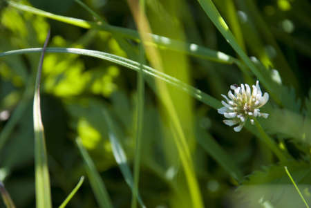 Photography of the dutch clover in field close-up