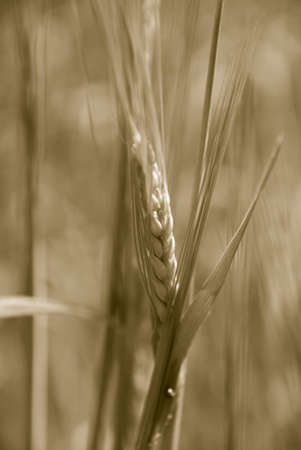 Photography of the ear rising on field Stock Photo