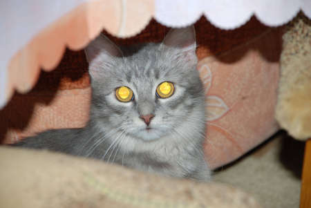 Photo of a kitten looking out from under a table Stock Photo