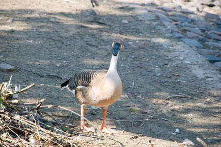 The photo of a goose which costs at water