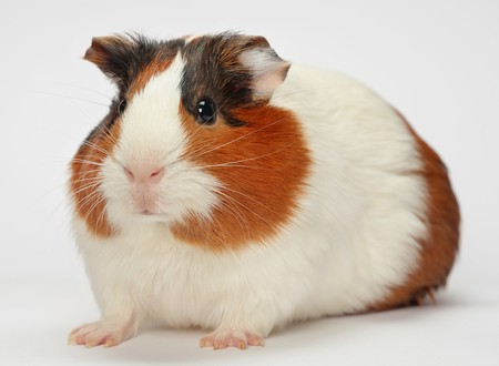guinea pig: Young guinea pig on white background Stock Photo