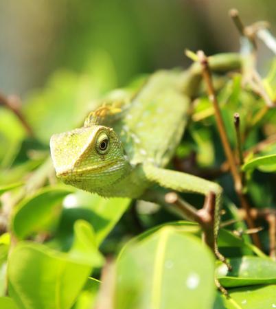 green chameleon photo