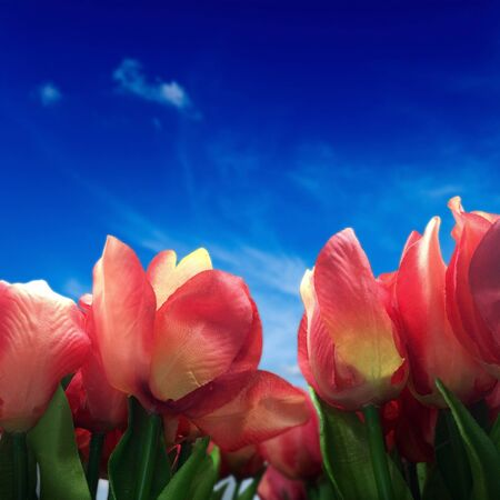 blue petals: Red tulip flowers with blue sky