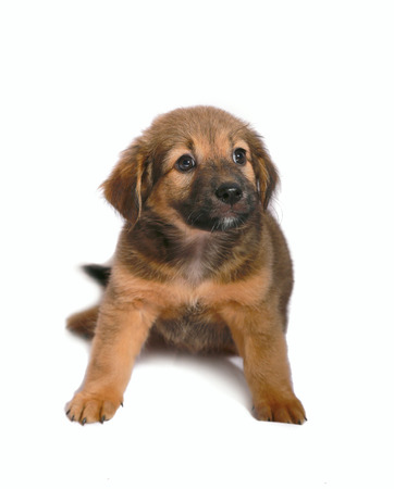 brown puppy isolated on white Stock Photo