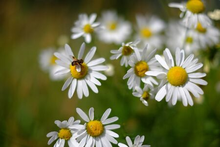 Beautiful picture of a bee gathering nectar from the daisies