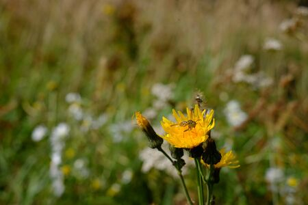 Beautiful picture, a bee collecting nectar from dandelion Stock Photo