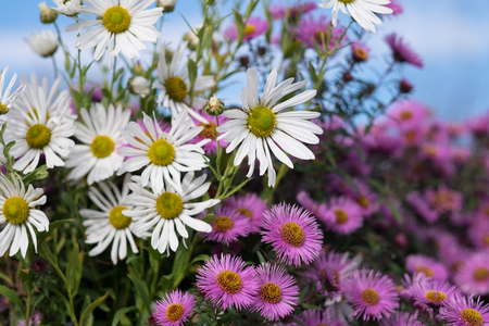 May flowers field of camomiles in garden in sunny day for wallpaper background. White chamomile daisies in meadow. Spring begins, Mothers day in summer Imagens