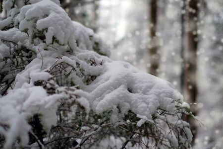 Fir tree branches covered with snow. Winter forest. Christmas and new year background.