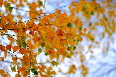 Autumn foliage on blue sky background. Beautiful orange and green leaves on a background of blue sky with white clouds. Stock Photo
