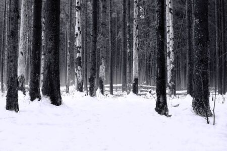 The trees in gloomy black and white winter forest. Gloomy black-and-white winter landscape. Around black trees and white snow. Фото со стока - 94508923