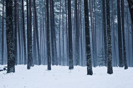 Trees in a bleak winter forest. Circle frosty. The blue hue of the landscape. Banque d'images