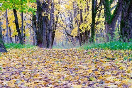 Autumn in the Park. In the foreground everywhere the leaves on the back lot of trees. Autumn sparkle colors. Banque d'images
