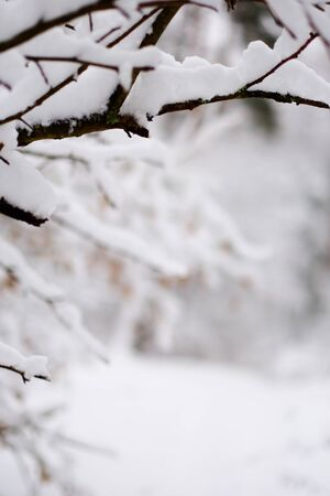 Frosty tree branches in winter forest. In the foreground the bare branches of trees in snow in winter forest. In the background trees, the snow. The background is blurred. Banque d'images