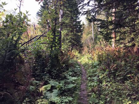 The path through the forest in the morning. No trees, grass. The trail continues deeper into the forest.