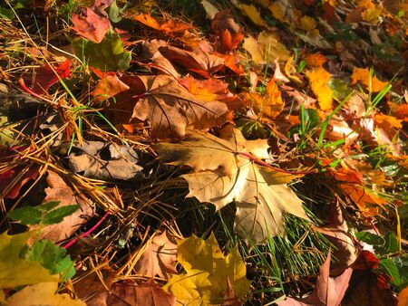 Autumn background of colored leaves shimmering in the sunlight. Banque d'images