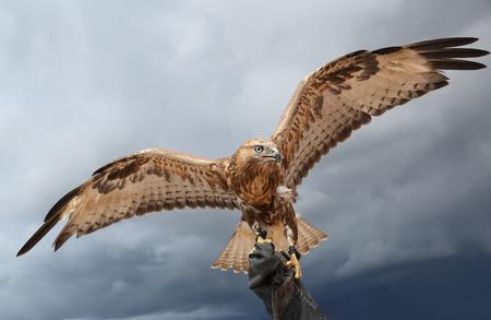 falcon has spread wings.  background sky.