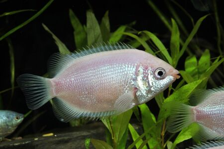 freshwater aquarium plants: Small pink fish in the aquarium