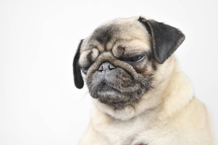 ugliness: detail on the head pugs