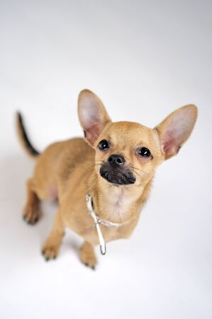 chihuahua pup: Sitting little puppy dog Stock Photo