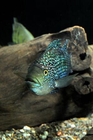 green fish: Small turquoise and green fish in the aquarium