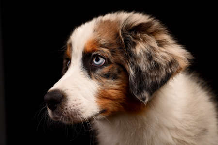 Puppy Australian Shepherd dog Isolated on black background in studio Headshot Australian Shepherd blue merle dog portrait