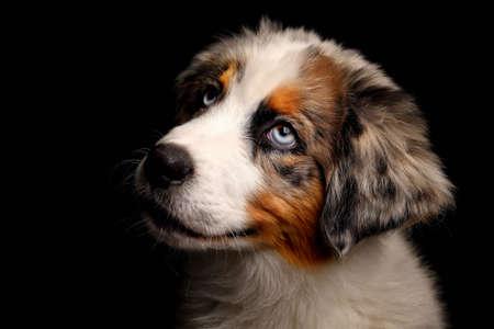 Cute Puppy Australian Shepherd dog Isolated on black background in studio.