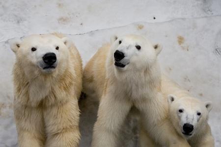 polar bears in Prague zoo photo