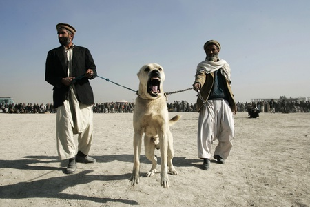 kampfhund: Men waiting for  start of dog fighting in the district Chaman-e-Babrak in Kabul, Afghanistan on November 19, 2004. Dog fighting is a hobby or used for gambling by a number of Afghans.  Editorial