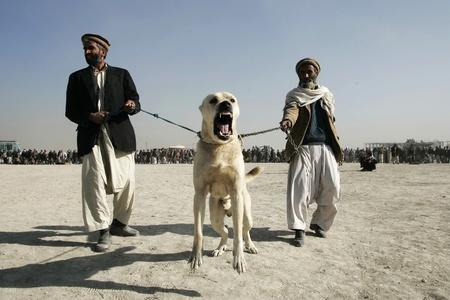 fighting dog: Uomini in attesa per l'avvio di cani da combattimento nel distretto di Chaman-e-Babrak a Kabul, in Afghanistan il 19 novembre 2004. Cane da combattimento � un hobby o utilizzati per il gioco da un certo numero di afgani.