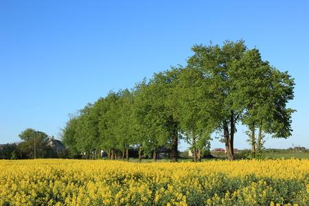 Willage landscape with yelow raps field