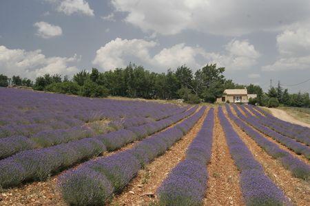 blumen: Lavender fields near Sault, Provence, Southern France.