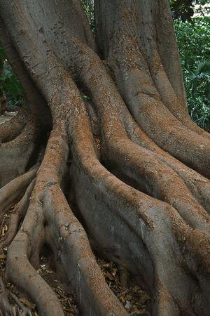 sanremo: Tree roots near Sanremo, Italy