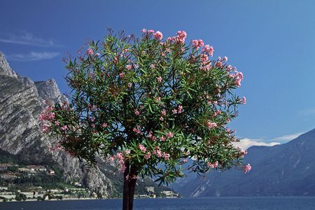 Oleander tree at the Lake of Garda, Italy