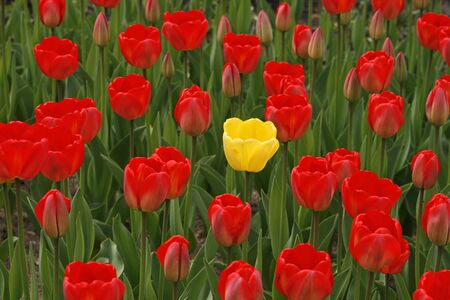 Yellow tulips with a red one in the middle