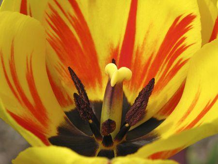 Tulip detail, Tulipa Stock Photo