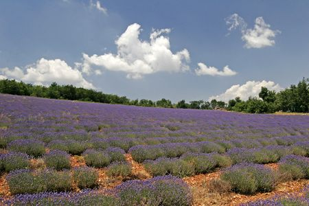 Lavender fields near Sault, Luberon, Provence, Southern France Stock Photo